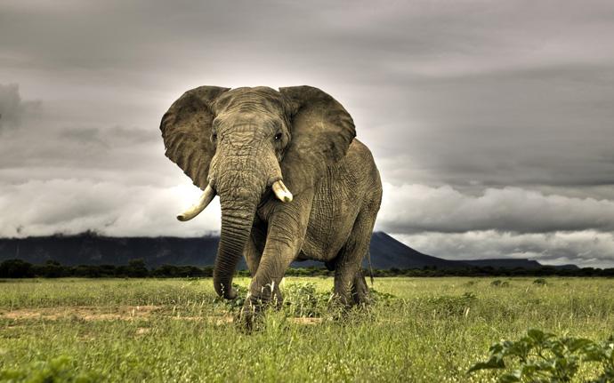 frican Elephant Walking on Savanna, Marakele National Park, South Africa